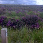 Heather starting to turn purple