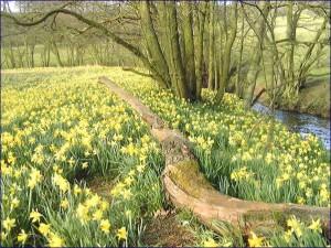 Farndale Daffodil walk taken from http://homepage.ntlworld.com/don.burluraux/040303.htm